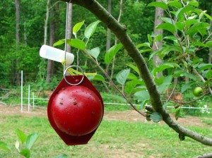 Apple maggot trap hanging on branch of apple tree