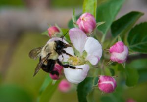 Bumblebee on apple bloom