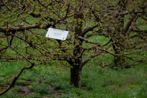Delta-style insect monitoring trap in orchard