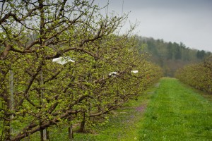 Line of insect monitoring traps in apple orchard