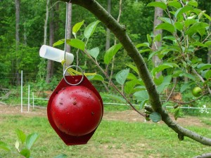 Apple maggot monitoring trap hanging in branch of apple tree