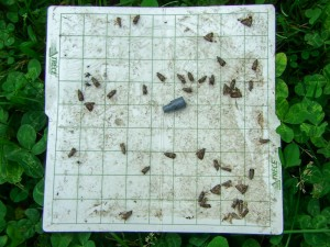 Codling moths on sticky monitoring trap liner