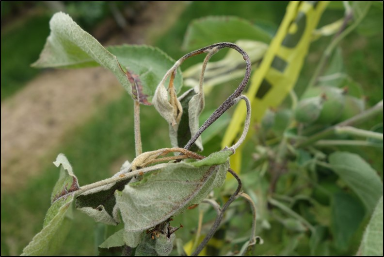 Fire Blight, Erwinia amylovora