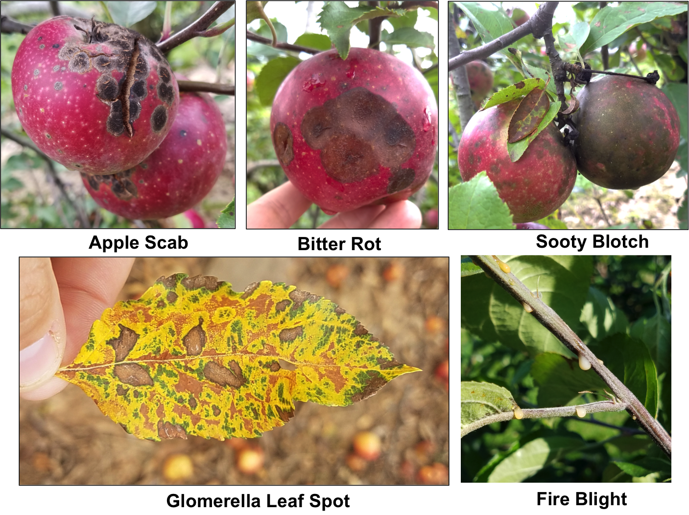 Five photos showing apple diseases Top (left to right) Apple Scab, Bitter Rot, Sooty Blotch. Bottom (left to right) Glomerella Leaf Spot, Fire Blight