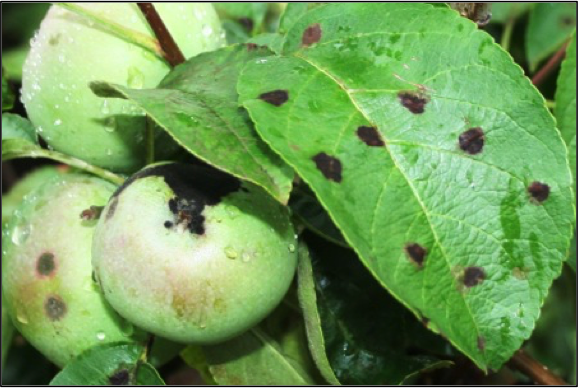 Apple Disease Update: Petal Fall | NC State Extension