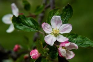 Image of apple blooms
