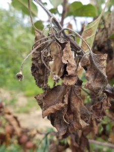 Image of blossom blight infection
