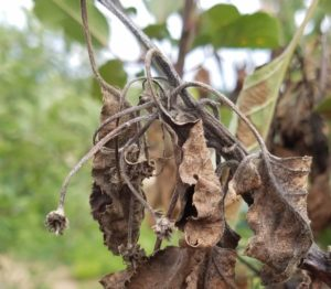 Cover photo for Apple Alert: Blossom Blight Infection: May 1-5