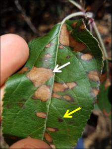 Early symptoms of Glomerella Leaf Spot