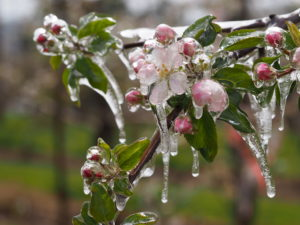 Image of 'Gala' blossoms with ice accumulation