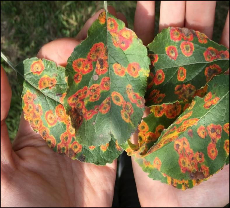 Image of cedar apple rust lesions