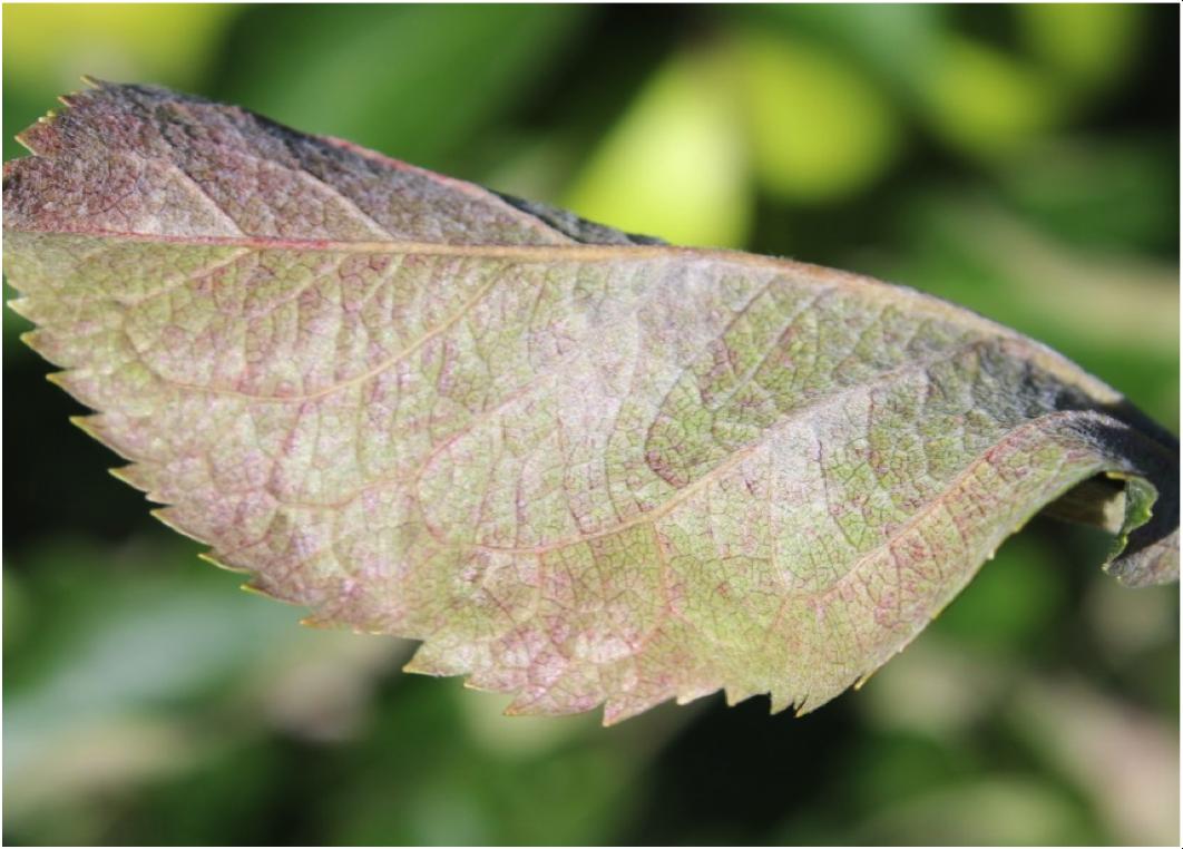 Image of secondary powdery mildew lesion