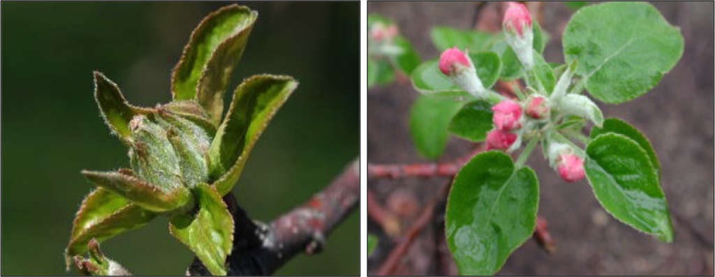 Tight Cluster (left) and Pink Bud (right) growth stages on apple