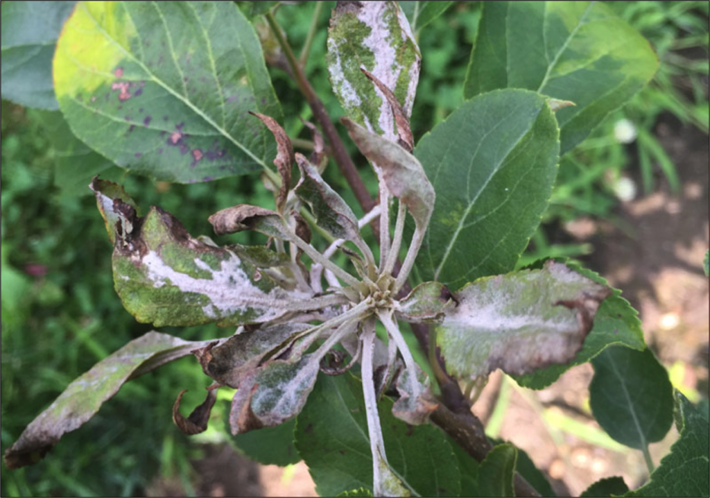 powdery mildew infection on apple leaves