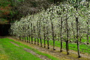 Orchard row in flower