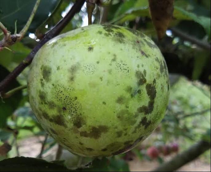 Image of a diseased apple