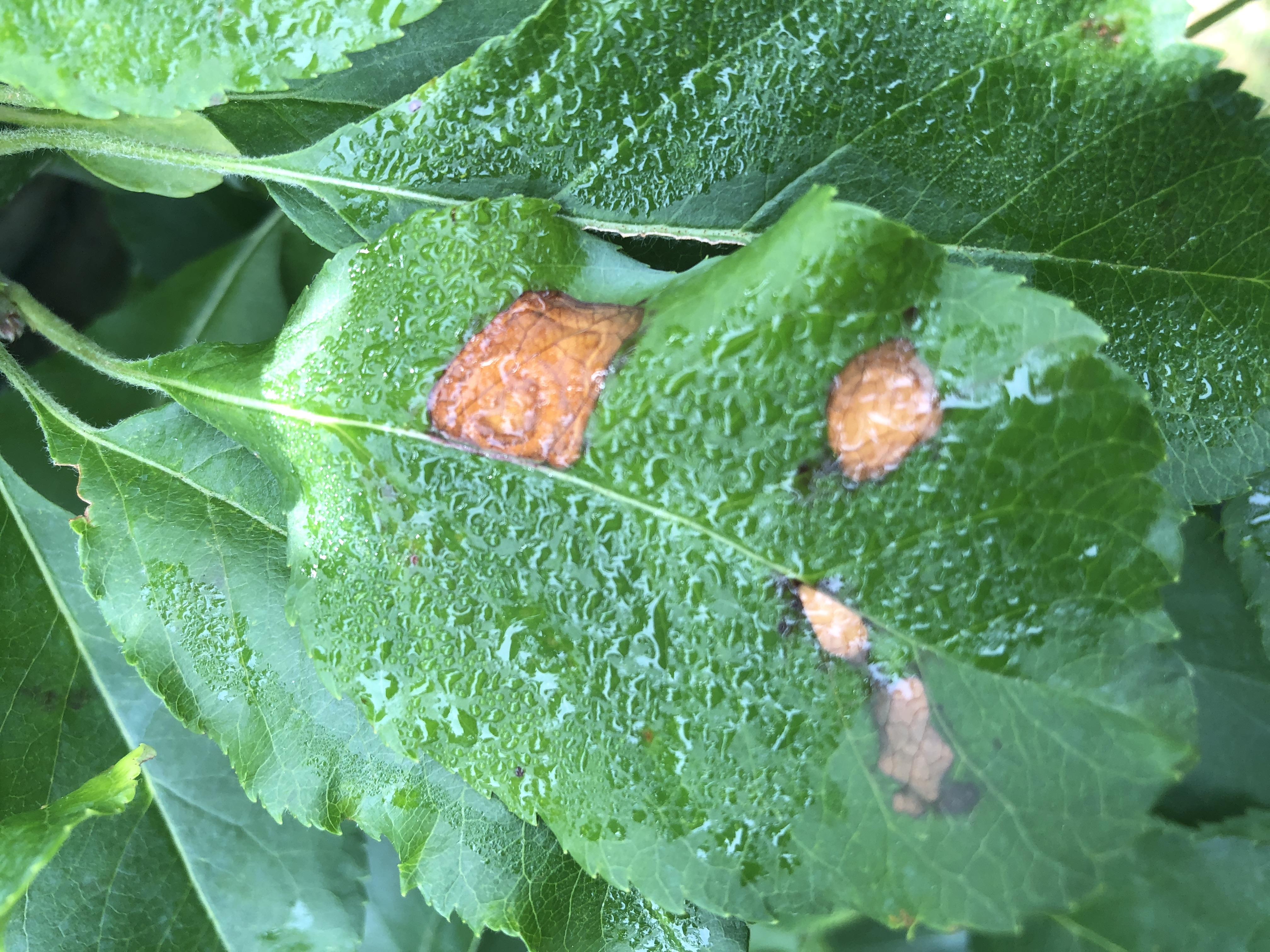 Image of Glomerella leaf spot