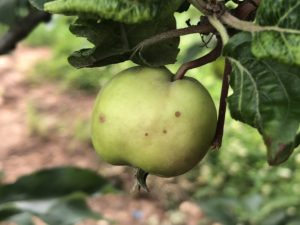 Cover photo for Apple Disease Update: Week of June 10
