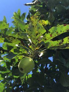 Cover photo for Apple Disease Update: Week of July 1
