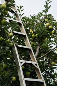 Ladder beside apple tree
