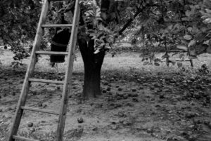 Apple tree and ladder in orchard