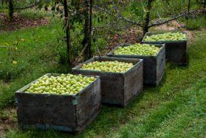 Apples in bins