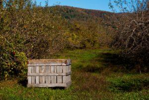 Apple bin in orchard