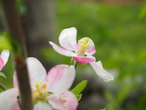 Cover photo for Blossom Thinning Apples With Lime Sulfur: Old Dog - New Trick