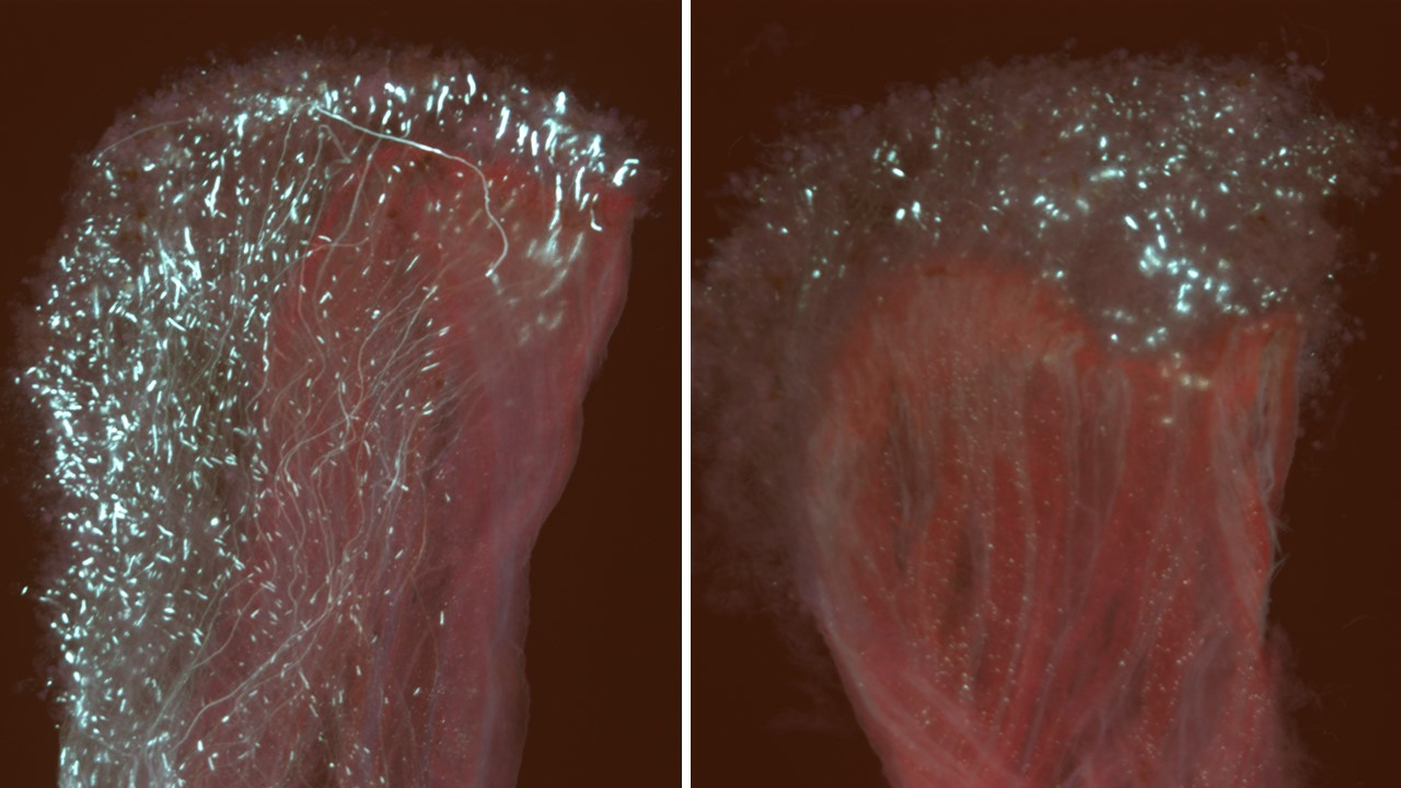 Figure 1. Pollen tubes glow vividly (grenish-blue) when stained and veiwed using fluoresence microscopy. Abundant pollen germination and growth on an untreated apple stigma and style (left). Application of 2% liquid lime sulfur and 2% oil can inhibit pollen germination and growth in susceptible flowers, resulting in reduced fruit set (right).