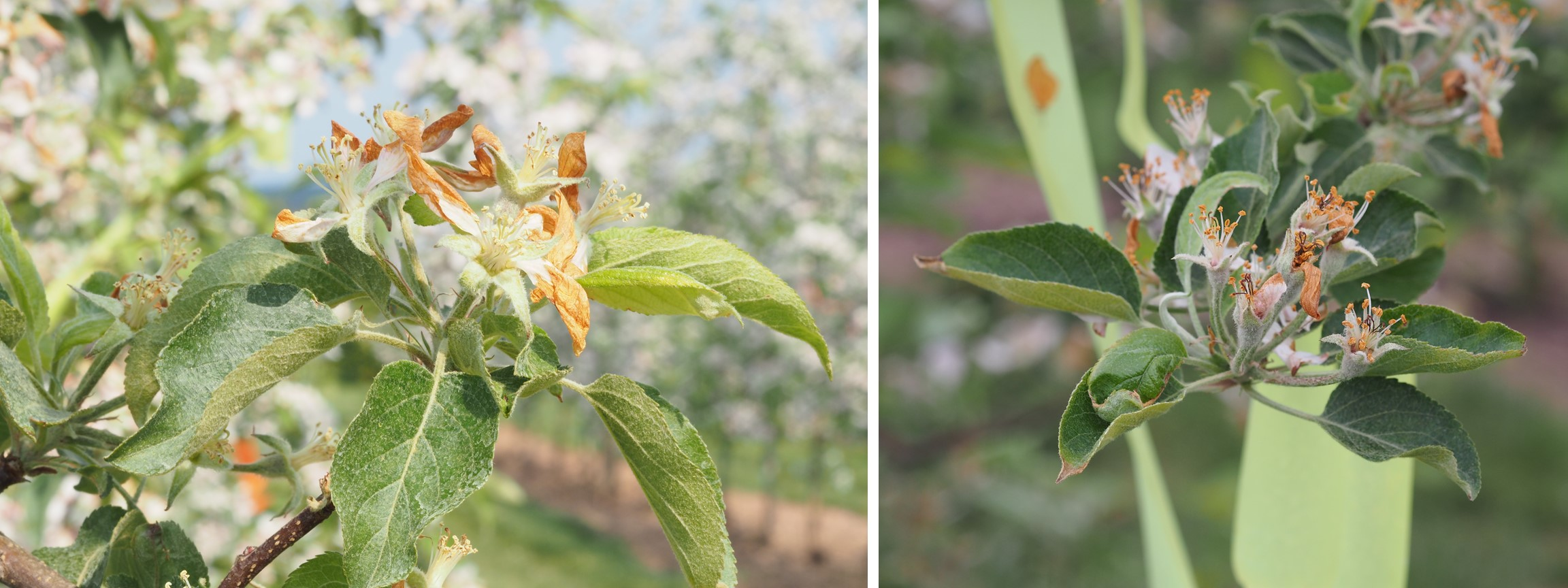 Figure 2. Petal browning (left) and leaf damage (right) can occur after LS applications.