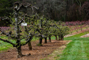 Photo of apple trees