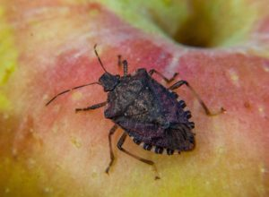 Picture of brown marmorated stink bug on apple