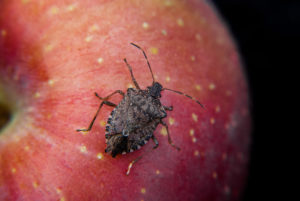 brown marmorated stink bug on apple