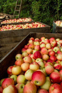 Picture of apples in bins