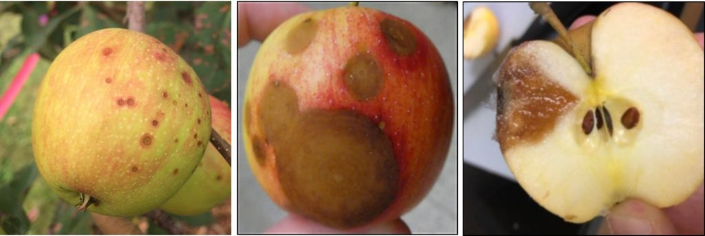 Symptoms of Bitter rot on fruit