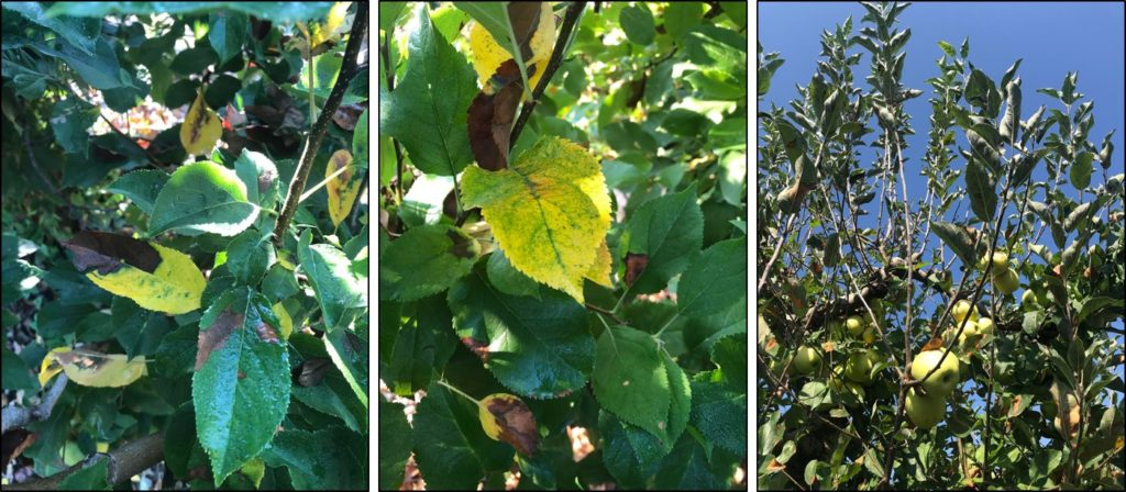 Chlorosis and Defoliation associated with NLB