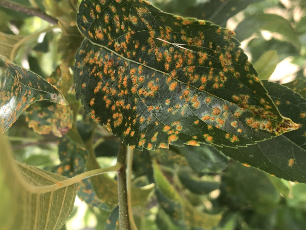 Rust on Apple Leaf
