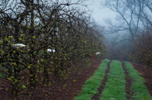 Picture of apple orchard and traps