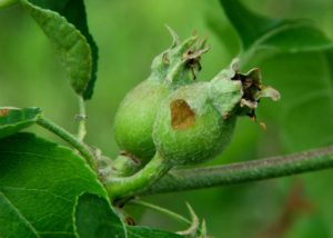 Picture of apple with green fruitworm damage