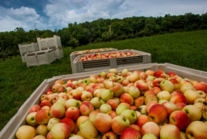 bins of apples in orchard
