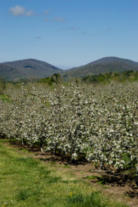 picture of apple trees