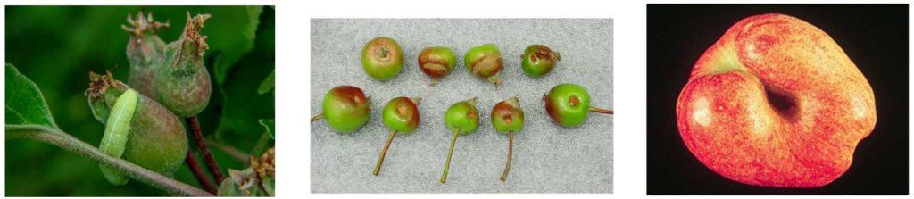 Pictures of green fruitworm damage. Fresh feeding on apple, older feeding scars on fruit, damaged fruit at harvest.