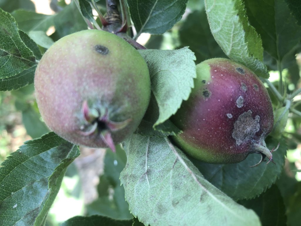 apple scab on fruit