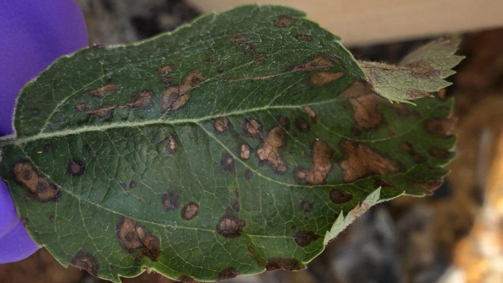 Frogeye leafspot on evercrisp
