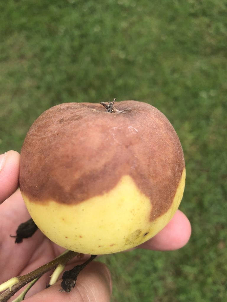 black rot on apple