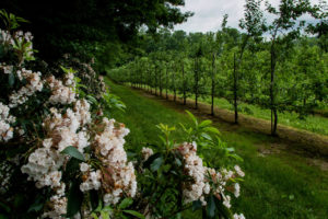 Apple orchard with mountain laurel on border