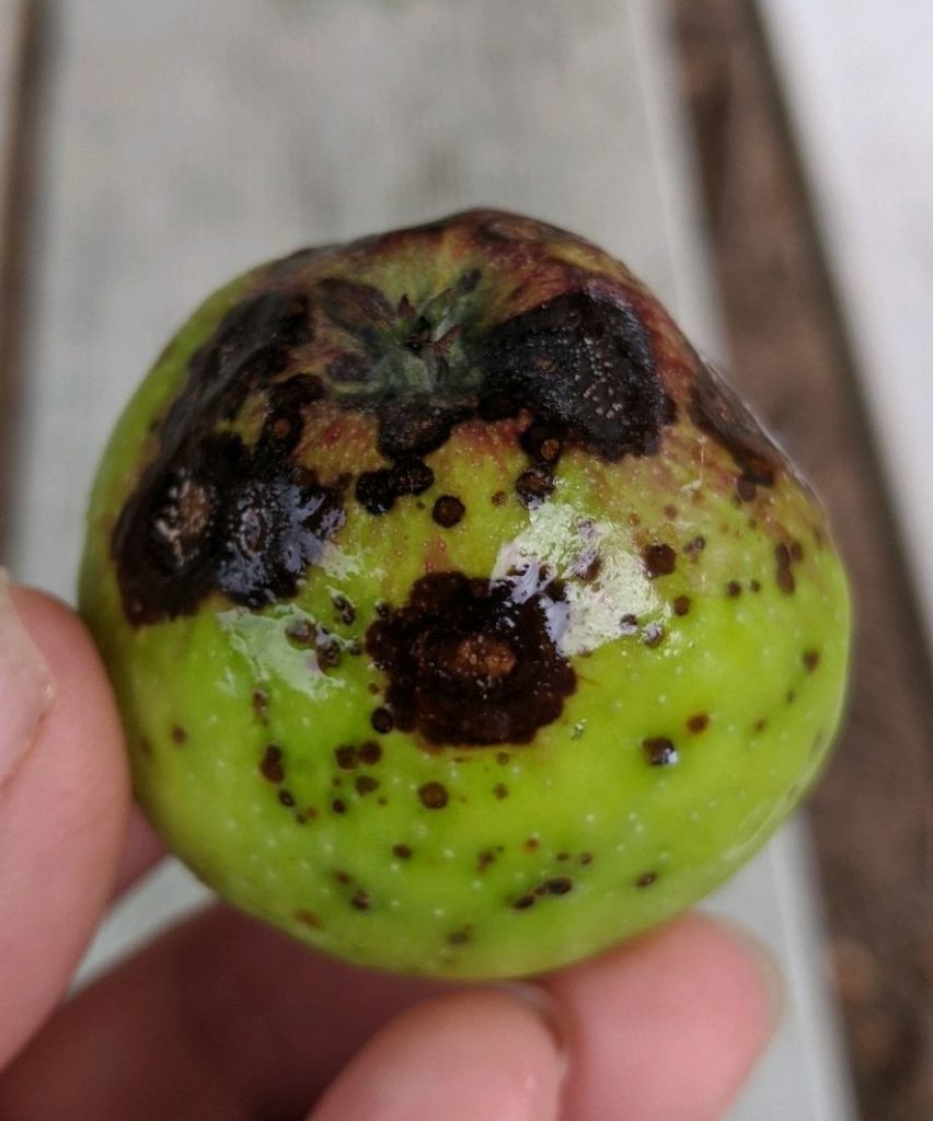 Apple showing unknown rot disease