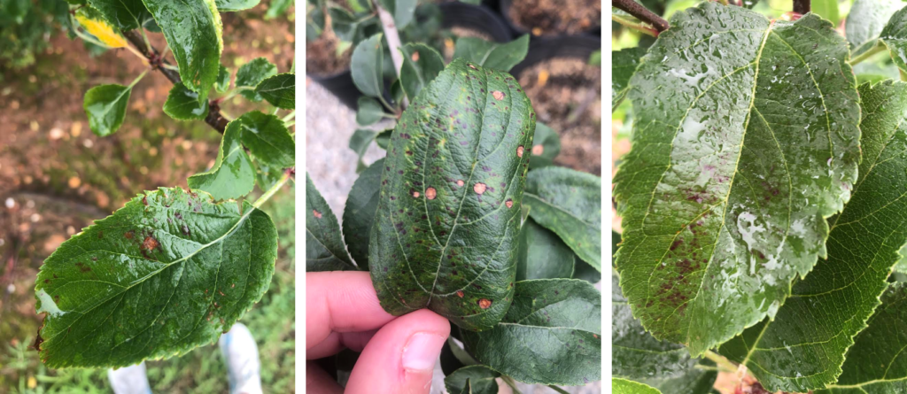 Left: Glomerella leaf spot on 'Gala'; Center: Frogeye leaf spot on 'Evercrisp'; Right: Marssonina leaf blotch on 'Rome Beauty'