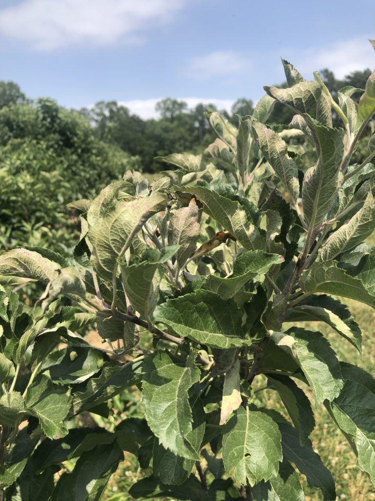 Powdery Mildew on Apple