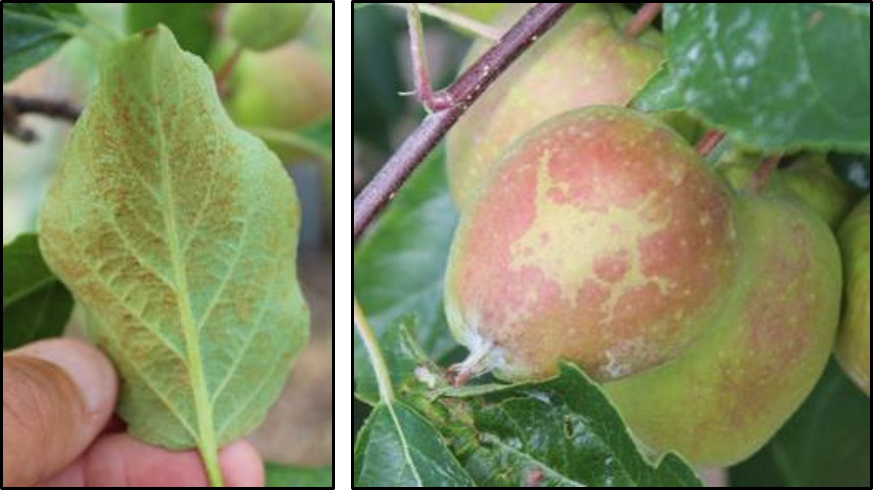 Phytotoxicity on apples leaves and fruit following application of surfactant plus captan fungicide.